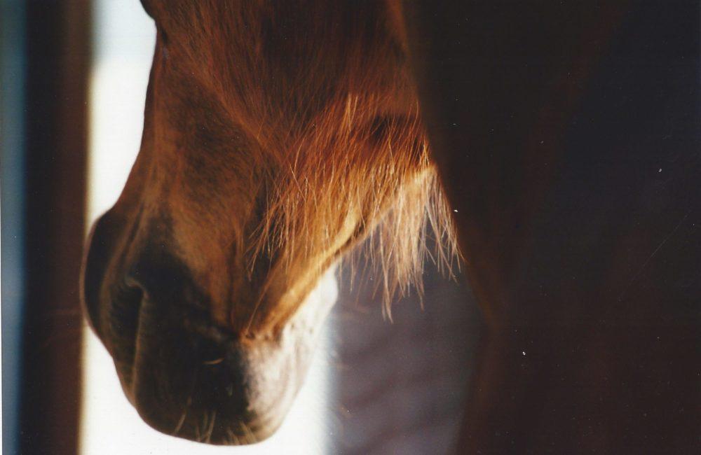 Das heilige Pfingst-Pferd