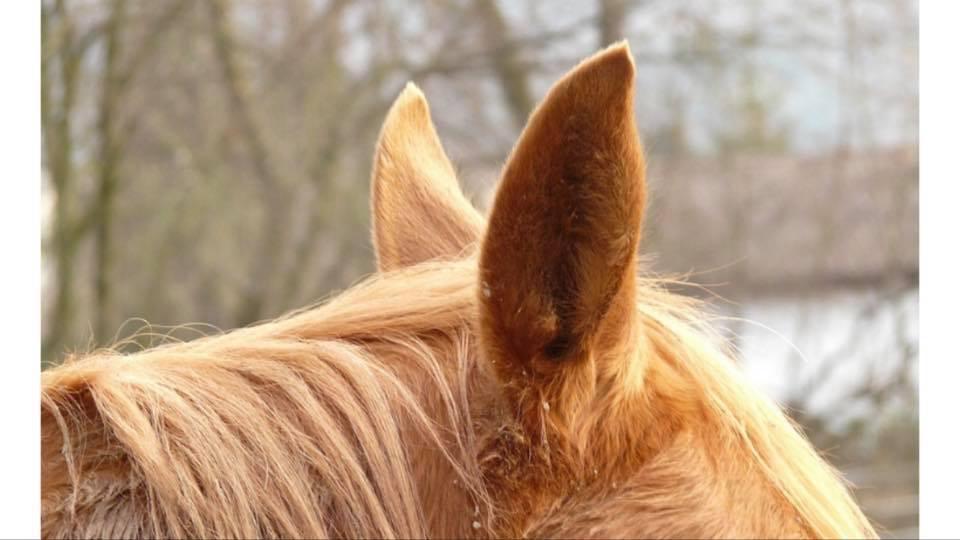 Angelegte Ohren – was bedeuten sie?